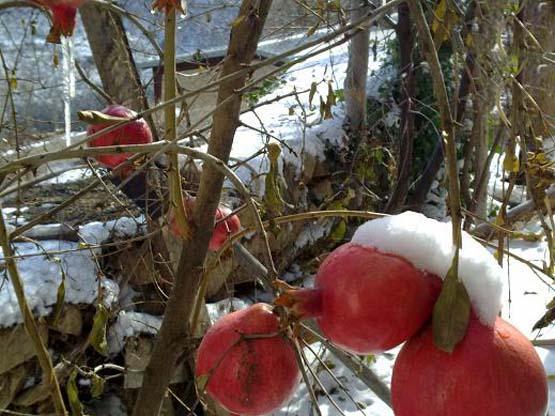 انار در برف